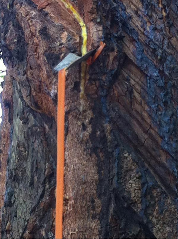 dây nilon dùng dẫn mủ cao su